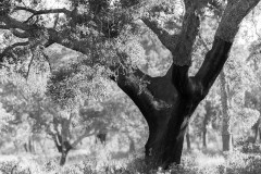 The cork oak with more than 100 years, a noble tree that crosses generations.