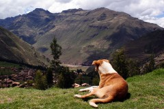 Luck dog (Sacred Valley)