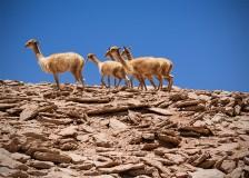 Young Lamas