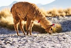 Adult Lama