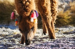 Adult Lama in bolivian altiplano