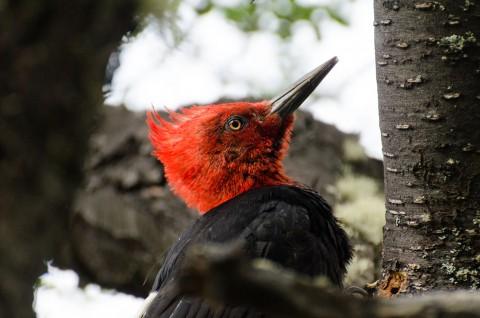 Male woodpecker working