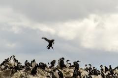 Patagonia - Cormoran Real