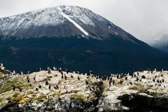 Patagonia - Cormoran Real colony