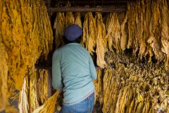Manual selection of tobacco leaf's