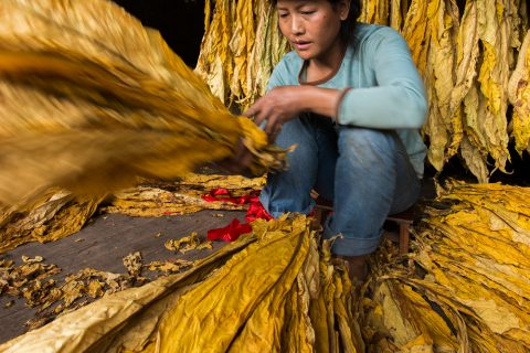 Manual selection of tobacco leafs